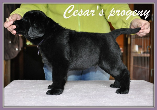 Cesar x Hara - 6 weeks old boy